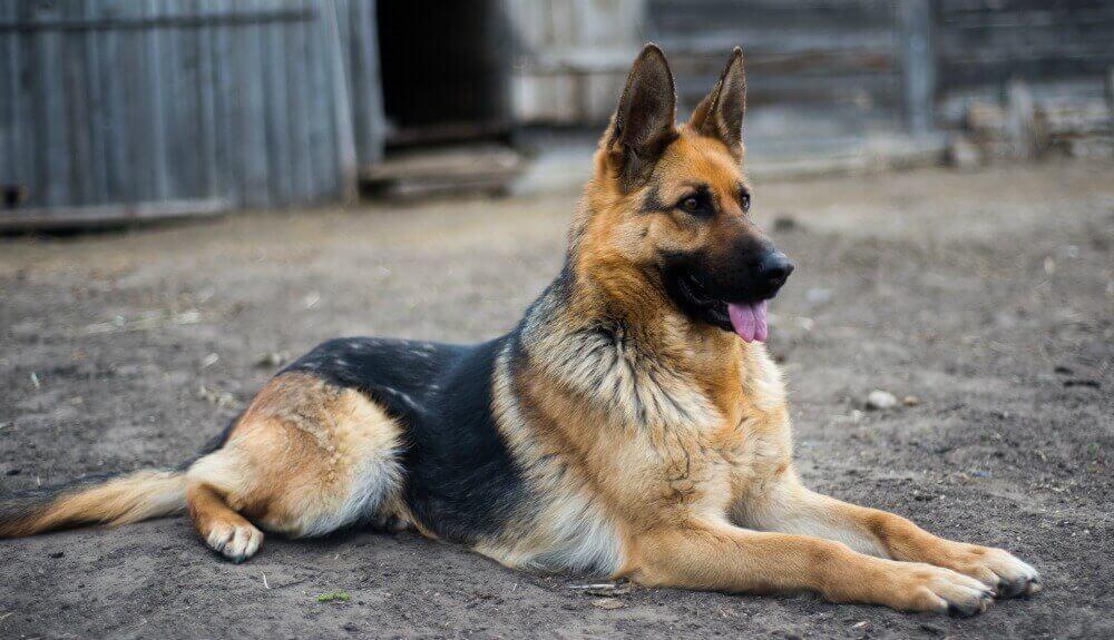 German Sheperd Dog Breed
